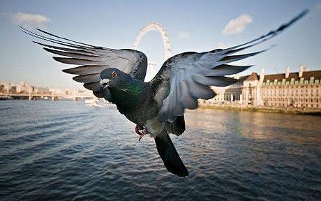 Bồ câu cảnh báo nguy hiểm bằng cánh